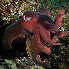 Giant Cuttle. by James Peake Nature Photography.