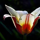 A Tulip in my Garden by cclaude