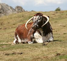 english longhorn by markspics