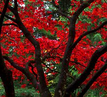 Red Japanese Maple Leaves by Michael Russell
