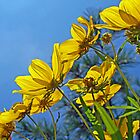 Long-Bracted Tickseed Sunflower Wildflower