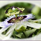 Passionfruit flower by Elaine Game