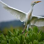 Cattle Egret by Emi Brown