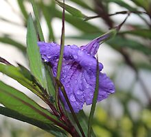 Watered Purple Flower by kaitlyns-photos
