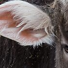Brown Swiss Eye and Ear by Deb Fedeler