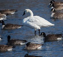Trumpeter Swan Among the Geese by Deb Fedeler