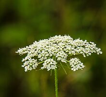 Queen Anne's Lace by mcstory