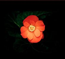 Beautiful begonia by jmnowak