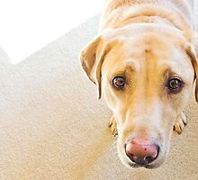 the eyes of a sweet labrador. by TheJill
