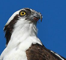An Osprey Profile by jozi1