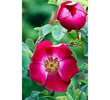 "Species Rose Flowers ""Mrs. Colville"" Photographic Print"