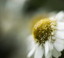 Scentless Mayweed Macro by Alex Wagner
