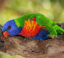 Rainbow Lorikeet with a Flash by JLOPhotography