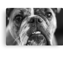 oh bulldogs, you make me smile. Canvas Print