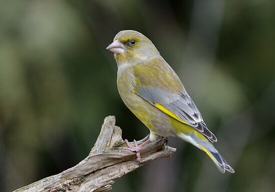 Green finch by Peter Wiggerman