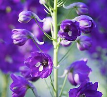 Rocket Larkspur by stephen-brown