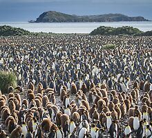 King Penguin Colony - South Georgia by Kellie Netherwood