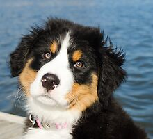 Bernese Mountain Dogs rock by TheJill