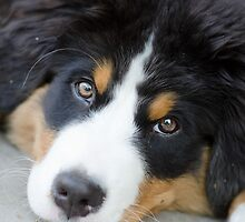 Bernese Mountain Dog Love by TheJill