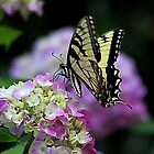 *Butterfly on Hydrangea* by Darlene Lankford Honeycutt