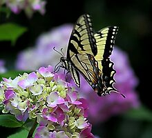 *Butterfly on Hydrangea* by DeeZ (D L Honeycutt)