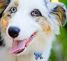 Australian Shepard is happy. by TheJill
