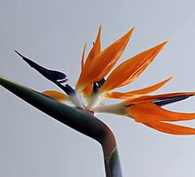 The bird of paradise flower by Avril Harris