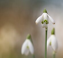 Snowdrops enjoying the light... by Bob Daalder