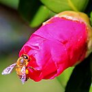 Bee On Pink Bud by Cynthia48