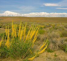 Princes Plume And Mount Tom - Spring Wildflowers Owens Valley Eastern Sierra California by Ram Vasudev