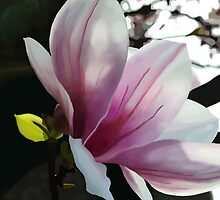 Magnolia flower by bbesemer