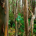 yellow gums (Tasmania) by Janine Paris