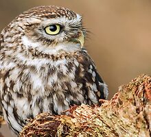 Little Owl. by Mark Hughes
