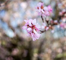 Cherry Blossoms by FFRPhoto