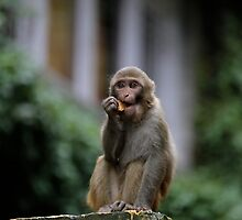 A young monkey in Manali by MichaelBr