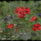 Poppies by SylviaHardy