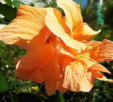 "Hibiscus Malvaceae ""Peach"" Flower Plant by artkrannie"