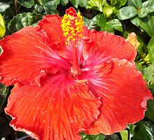 "Hibiscus Malvaceae ""Red"" Flower Plant by artkrannie"
