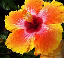 "Hibiscus Malvaceae Rosa-Sinensis ""Spin The Bottle"" 2 by artkrannie"