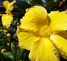 "Hibiscus Malvaceae ""Yellow"" Flower Plant 1 by artkrannie"
