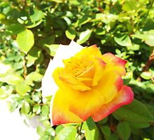 "Savalife Yellow Rose ""The Rainbow's End"" Flower Plant by artkrannie"