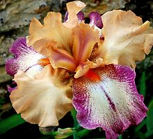 Bearded iris by Arie Koene