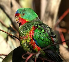 Swift Parrot by Mark Cooper