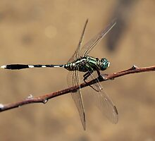 Green Dragonfly by JLOPhotography