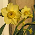 Daffodil Charme by Kat Simmons