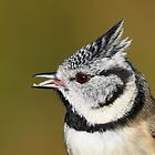 CRESTED TIT  by Dean   Eades