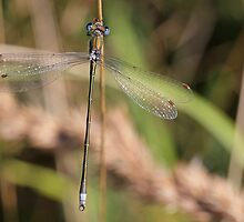 Male Small Emerald Damselfly or Small Spreadwing by Robert Abraham