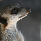 Meerkat in Melbourne by ellismorleyphto