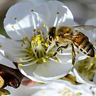 Spring Honey Bee by George I. Davidson