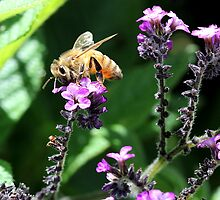 Bee on purple flowers by LeJour